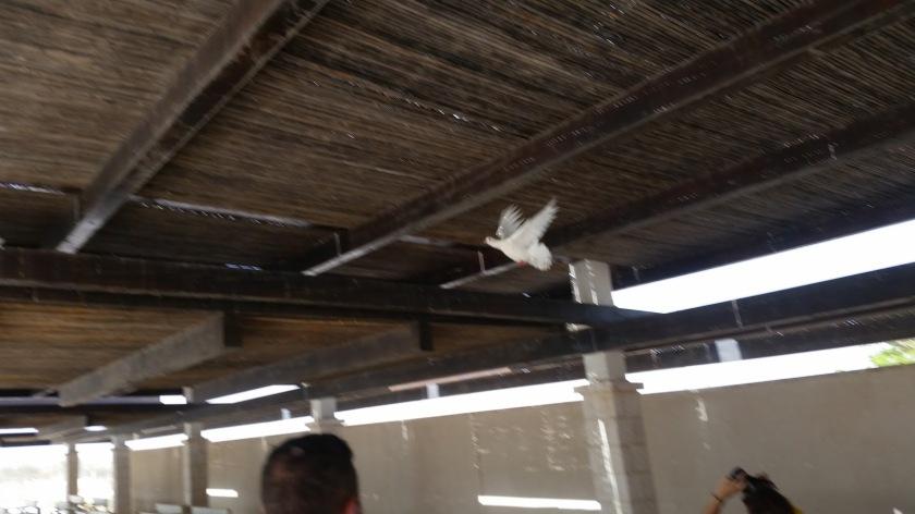colomba - cisgiordania