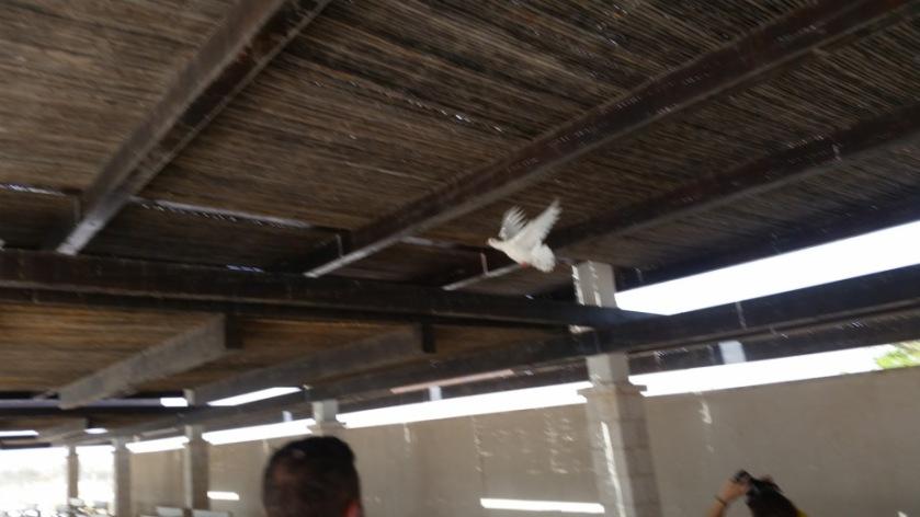 colomba-cisgiordania